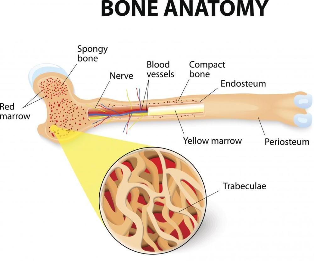 medium resolution of the structure of bones bone anatomy