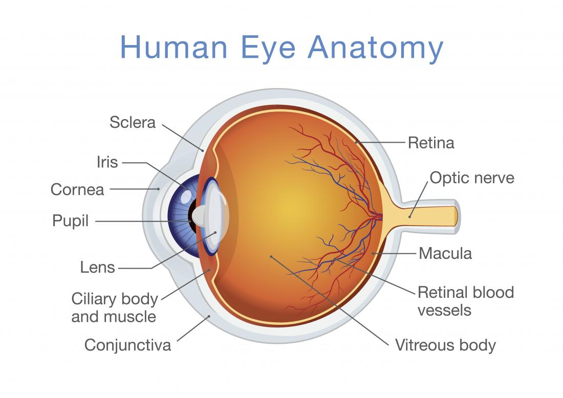 eyes structure function and