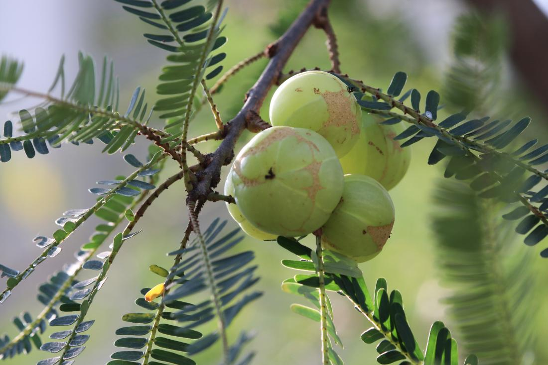 Amla oil is made from the amla fruit