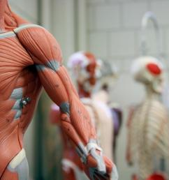model of muscular system in foreground with other human anatomy models in background  [ 1100 x 734 Pixel ]
