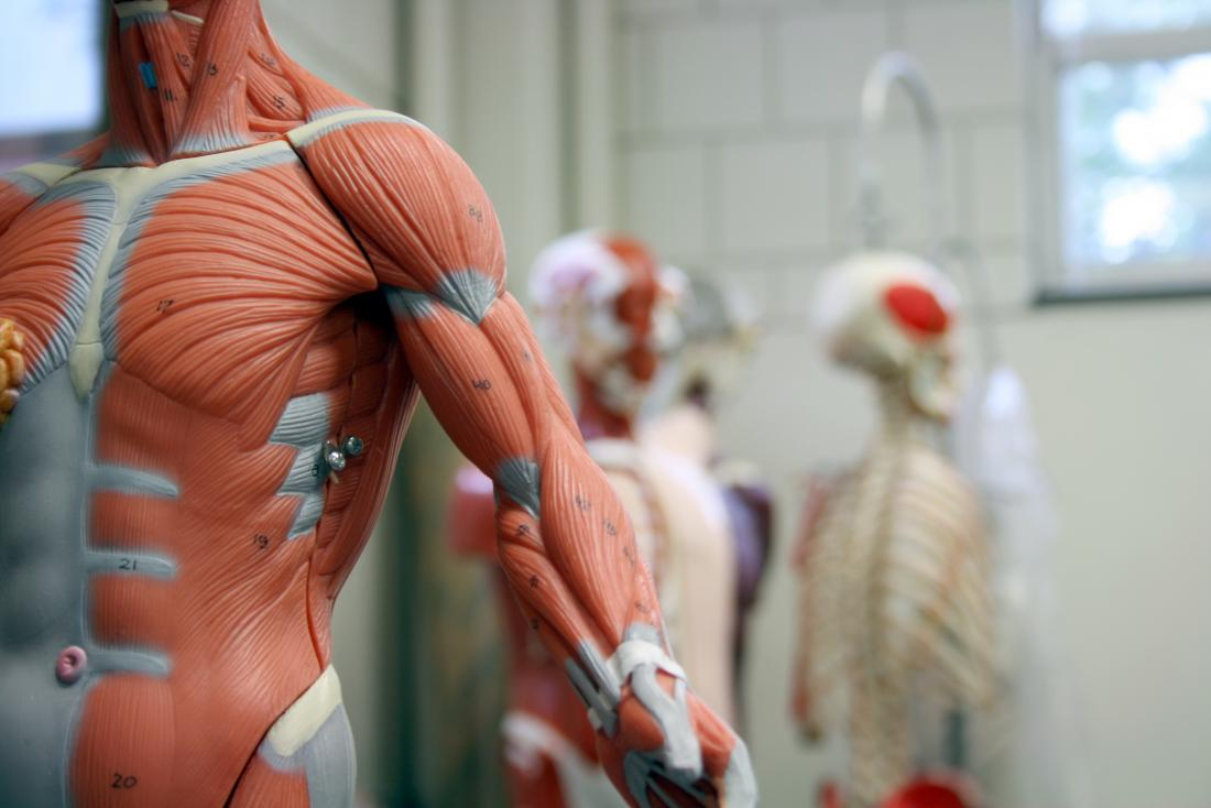 Model of muscular system in foreground with other human anatomy models in background.