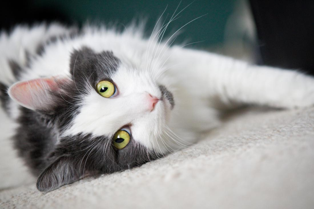 Grey and white cat with yellow green eyes