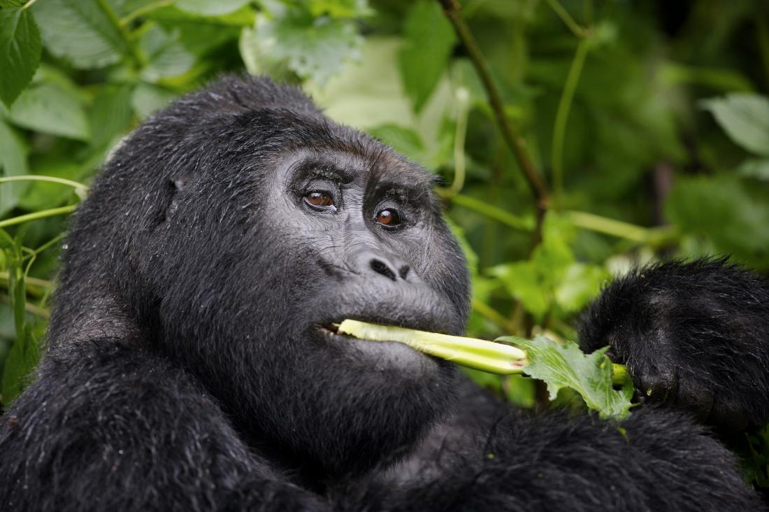 Gorilla eating a plant