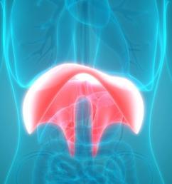 diaphragm in body  [ 1100 x 722 Pixel ]