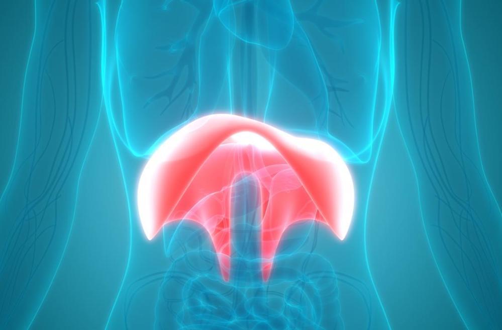 medium resolution of diaphragm in body