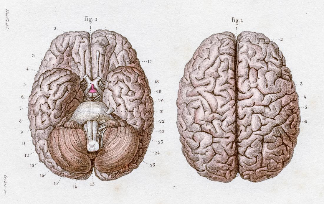 anatomical illustration of the human brain