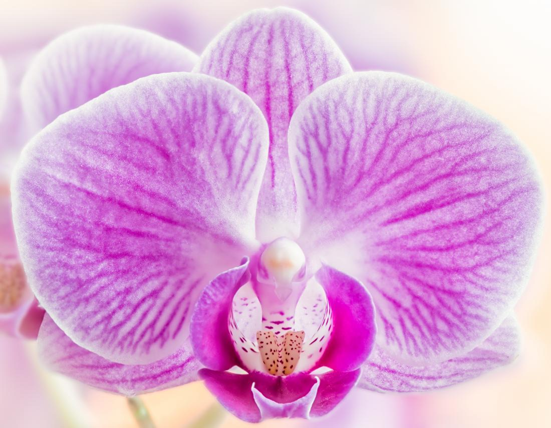 orchid as a metaphor for the female vulva
