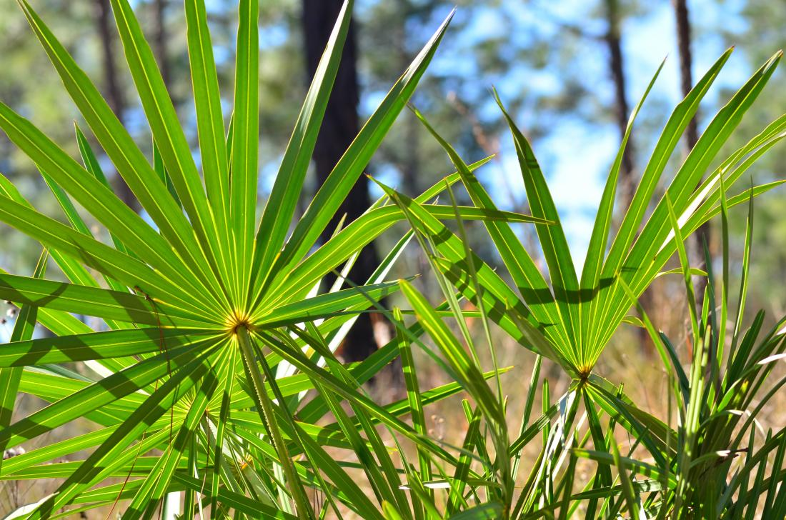 Image result for Saw palmetto and testosterone facts