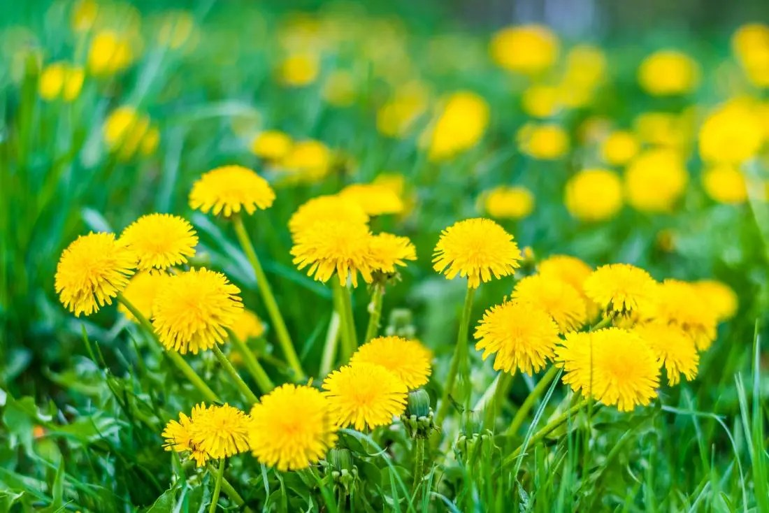 Dandelion: Health benefits, research, and side effects