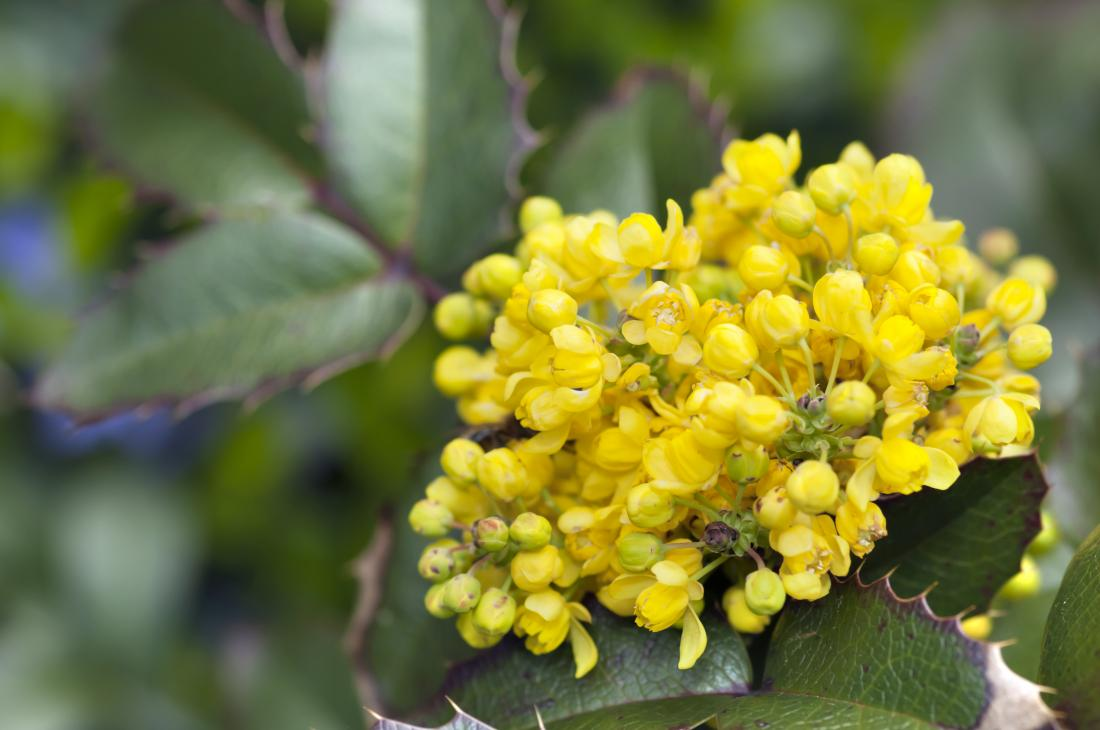 Mahonia aquifolium herbal remedy for psoriasis