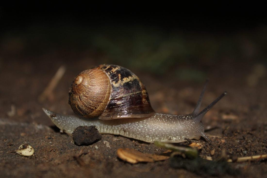 cornu aspersum the common garden snail