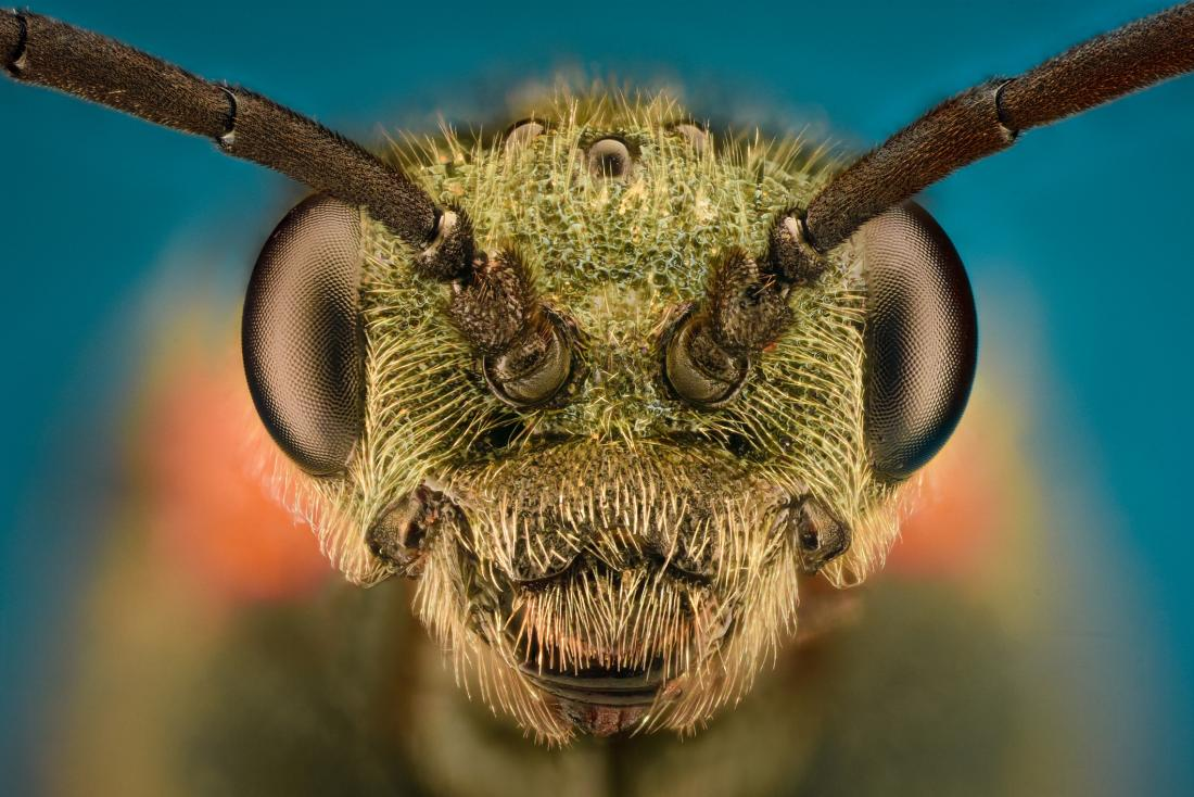 wasp head close up