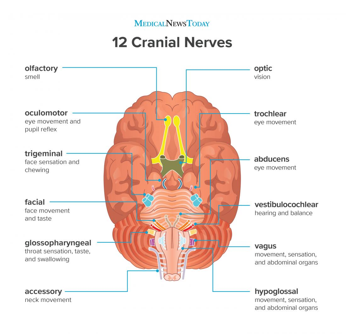 12 Order Names 1 Nerves Cranial Are What