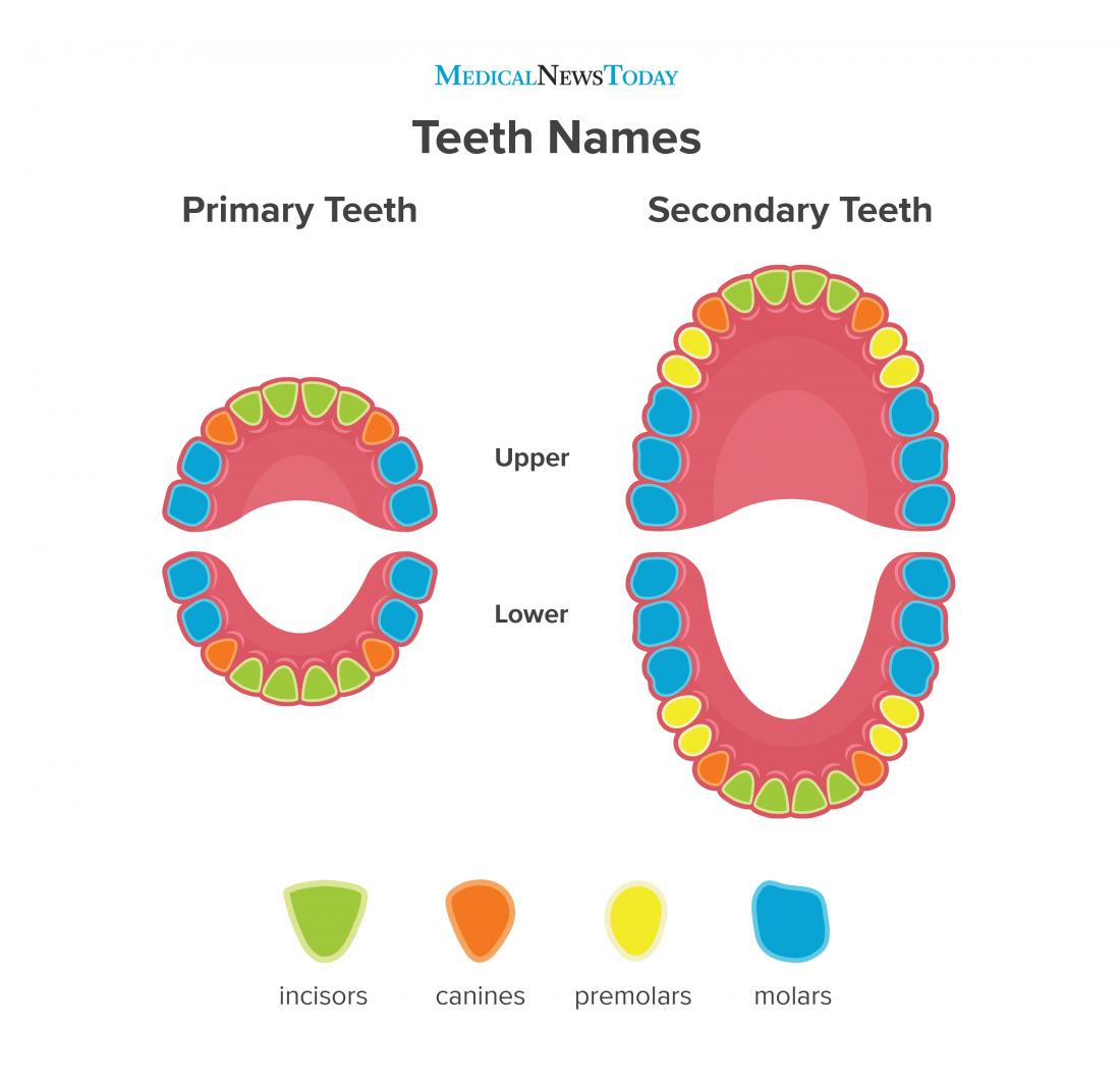 Mouth Diagram For Kids Images Pictures Becuo