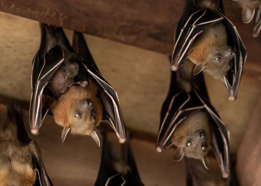 Bats hanging upside down