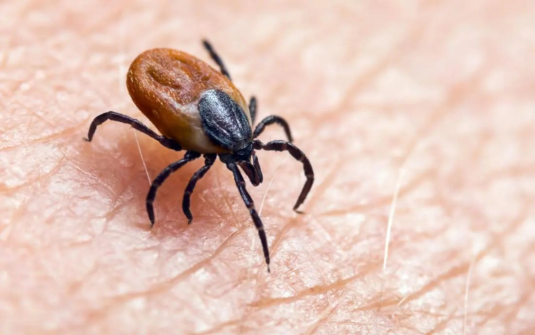 a deer tick that might cause chronic Lyme disease