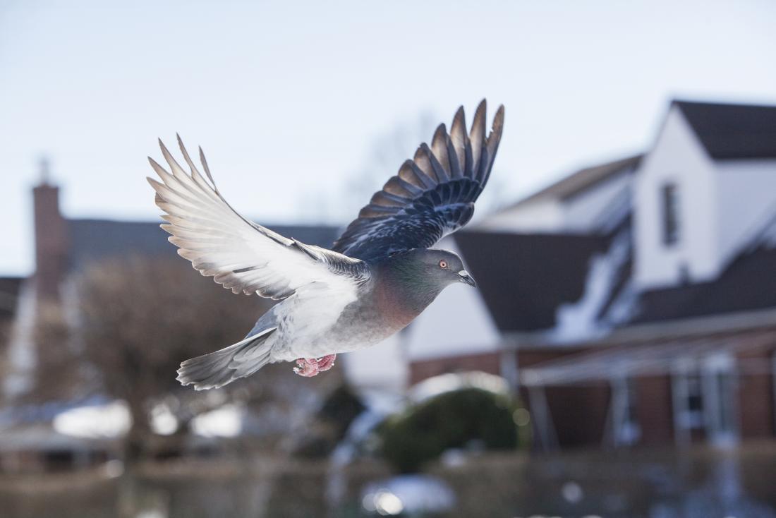 Paloma en vuelo