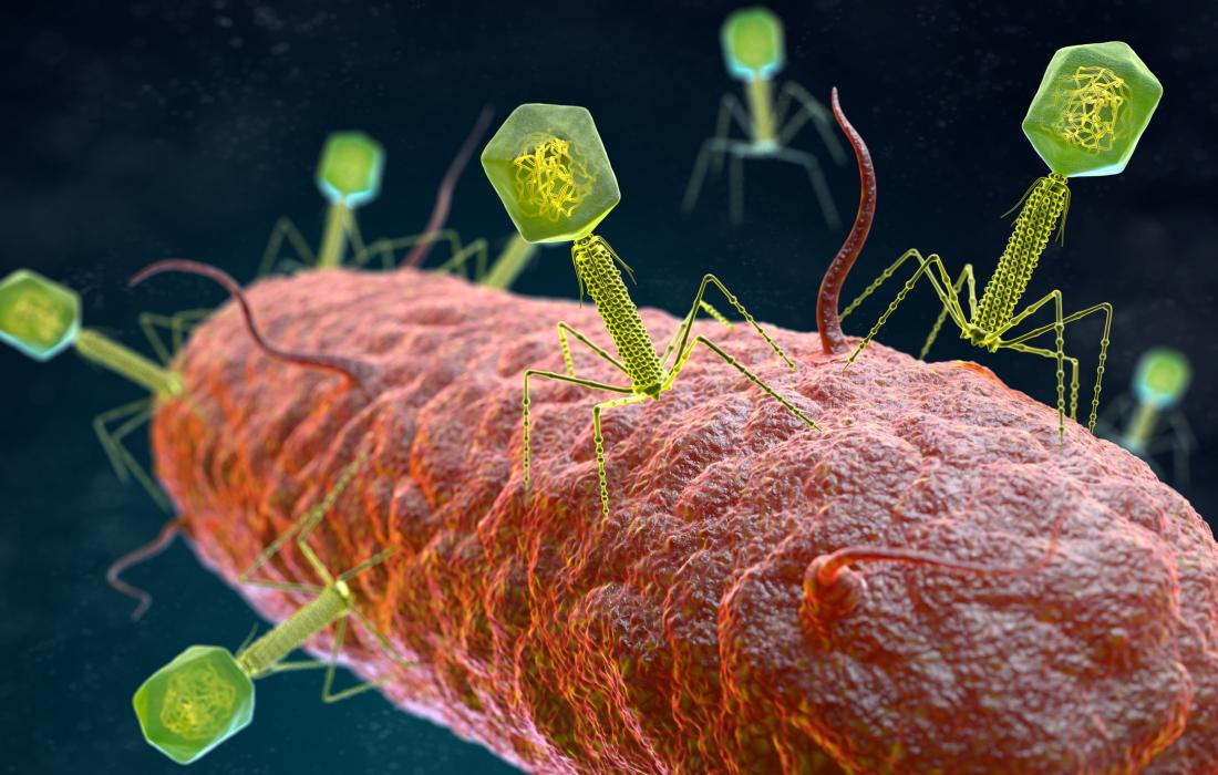 Bacteriophages infecting a bacterium