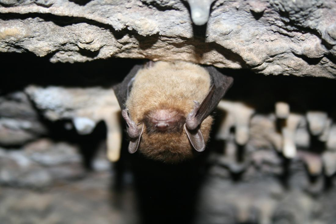 little brown bat hibernating
