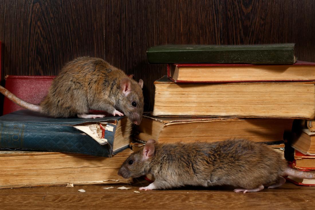 rats munching on books