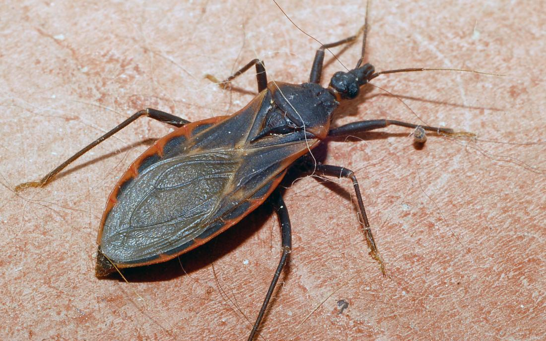 Kissing bug: What to know