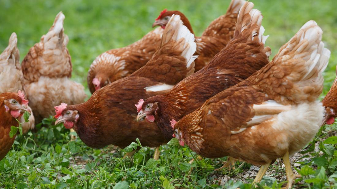 What to know about free-range eggs -  a bunch of free range chickens that may one day lay eggs