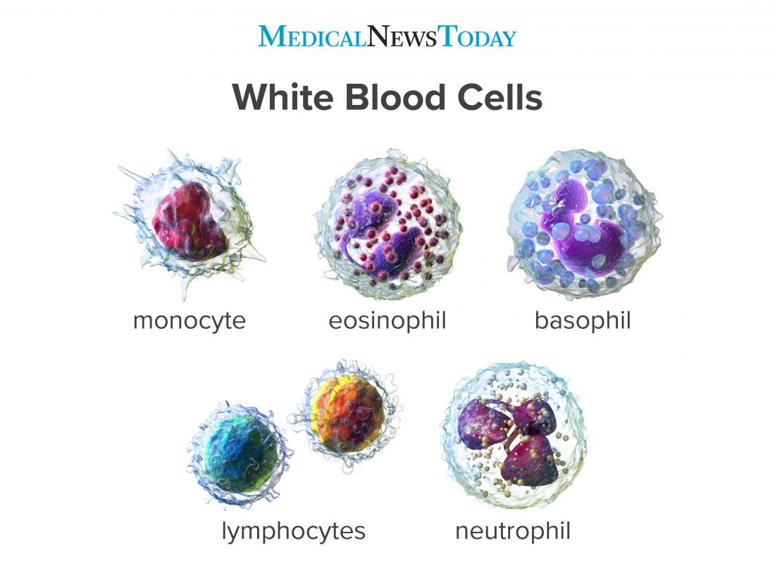 White Blood Cells Function Ranges Types And More