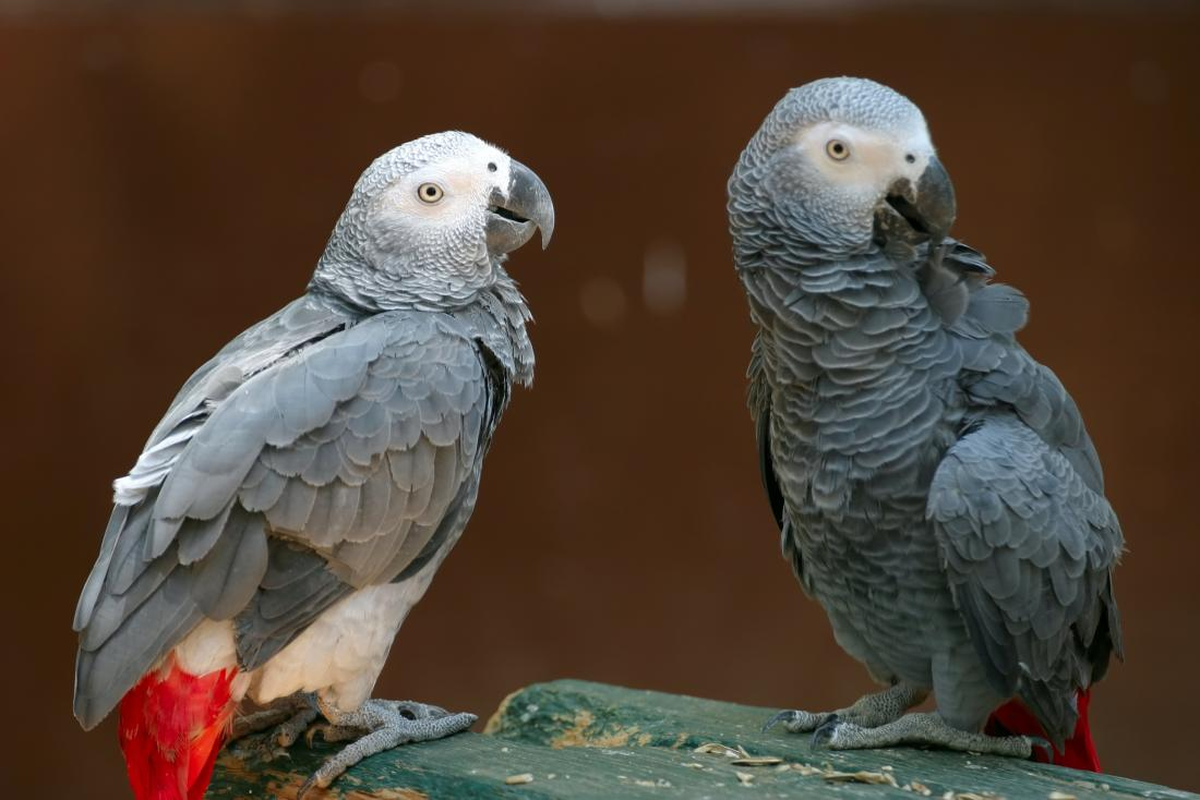 two african gray parrots