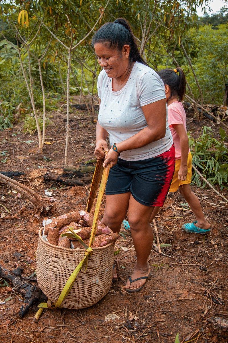 Nancy recolectando la yuca, alimento tradicional de los pueblos amazónicos.