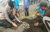 Warga Kusumba Temukan 92 Telur Penyu Hijau di Pantai Tribuana