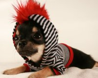 Dog clothes Tiny Teacup Punk Red Mohawk from ...
