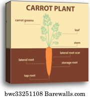 carrot plant diagram 2003 honda crv starter wiring canvas print of vector showing parts whole agricultural infographic scheme with labels for education