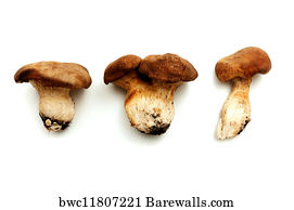 Image result for cardoncello mushroom