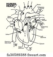 Free art print of Circulation of blood through the heart