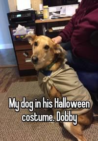 My dog in his Halloween costume. Dobby