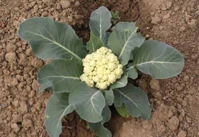Cauliflower Gardening Tips Garden Guides
