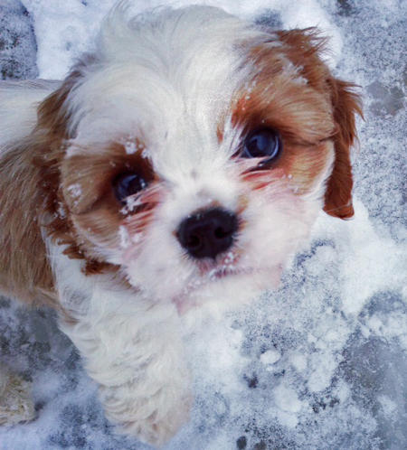 Pros Amp Cons Of A Bichon Frise Dog Care Daily Puppy