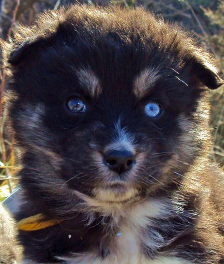 Puppies Pomeranian Cute Adoption