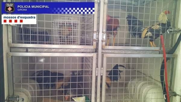 Hallan un criadero de gallos para peleas ilegales en Girona