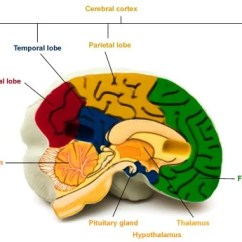 Left Side Brain Functions Diagram Site Example Visio Areas And Their Health24