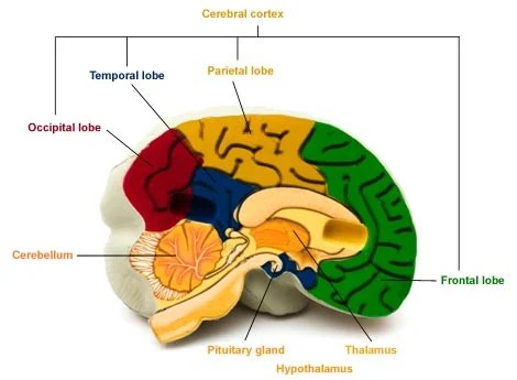 left side brain functions diagram soccer field positions areas and their health24