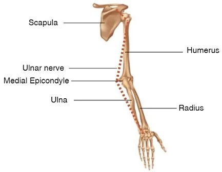 ulnar nerve diagram branches branching tree why bumping your funny bone hurts health24 he points out that the leads of spinal cord in neck and moves to shoulder it then continues down inner upper arm