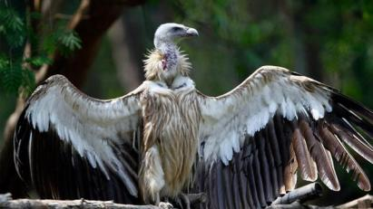 A Himalayan griffon vulture spread its wings at the Zoological Garden in Naypyitaw, Myanmar, Sunday, May 7, 2017.