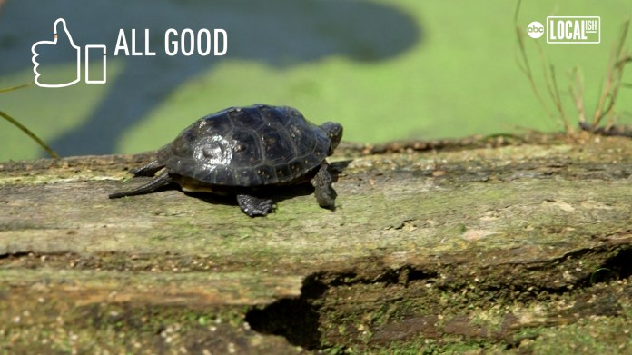Blanding's turtles released into wild after being raised by zookeepers