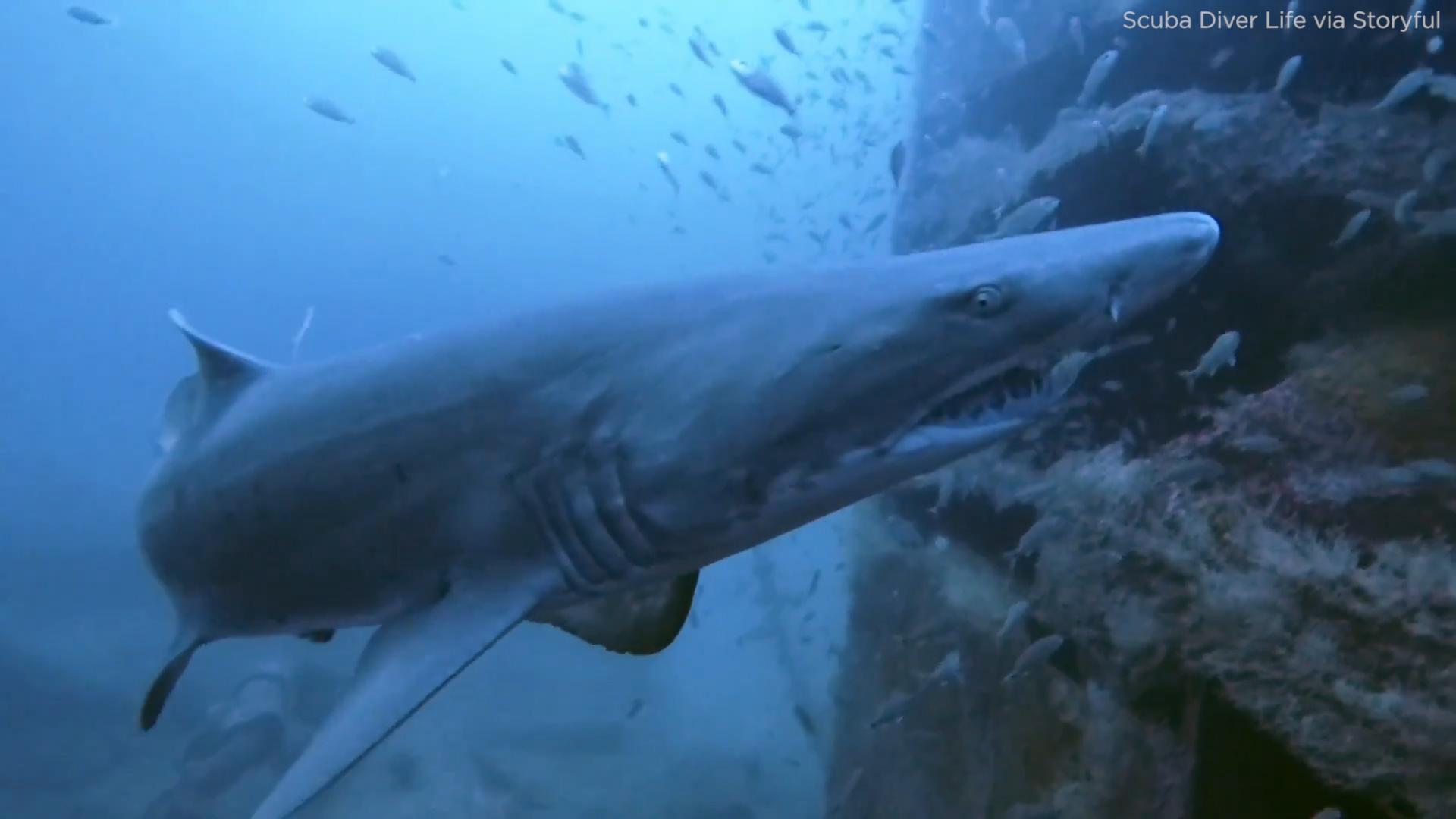 watch curious shark sneaks
