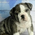 Rare Blue Merle Bulldog Puppy Stolen From Naperville Pet Store Abc7 Chicago