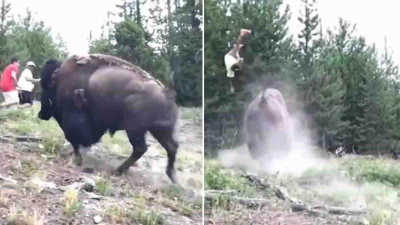 bison sends girl flying