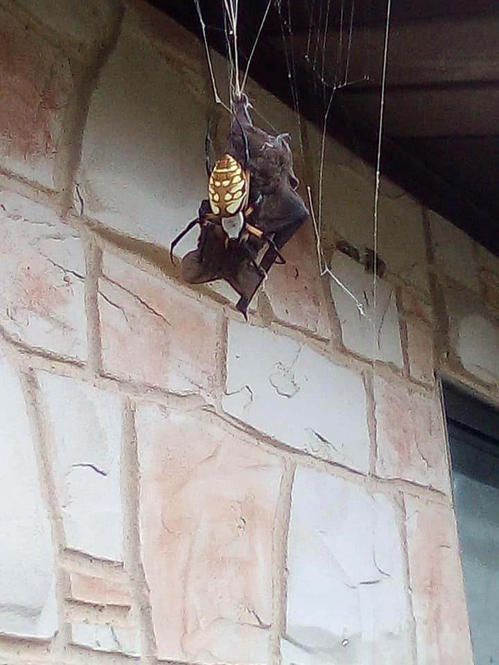 bat eating spider catches