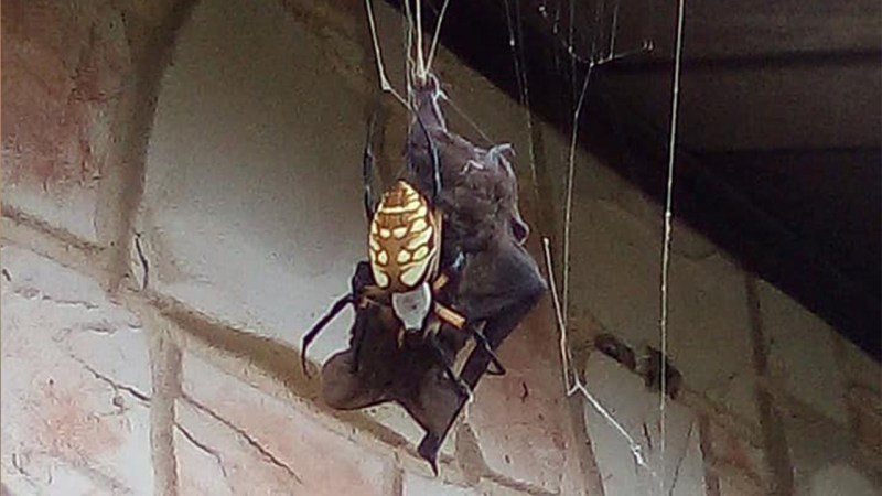 spider catches eats bat