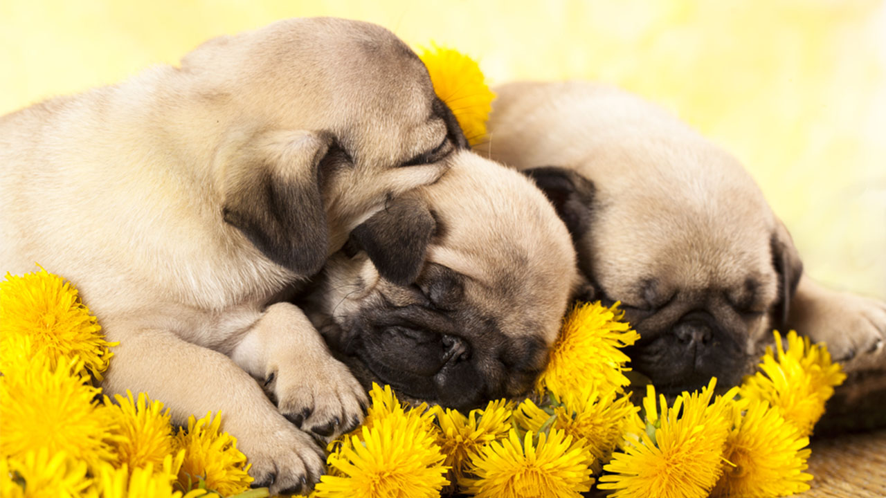 Cute Puppies Sleeping Wallpaper Video Watch As These Adorable Sleepy Pug Puppies Go To